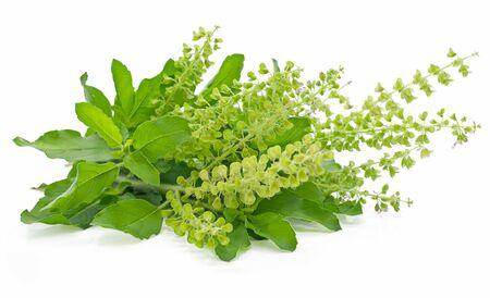 Sweet Basil plant isolated on white background Banco de Imagens - 149922214