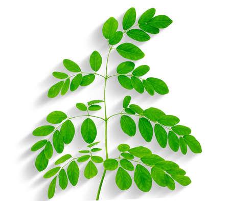 moringa leaves isolated on white background Banco de Imagens