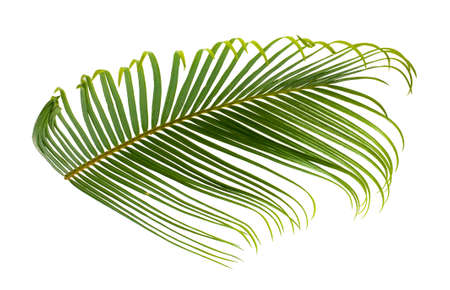 Tropical palm leaf isolated on white background Standard-Bild