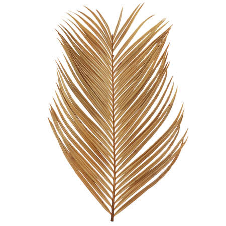Tropical dry palm leaf isolated on white background Standard-Bild