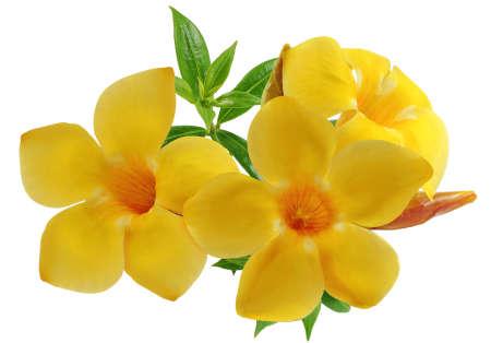Allamanda flower or Golden Trumpet flower isolated on white background