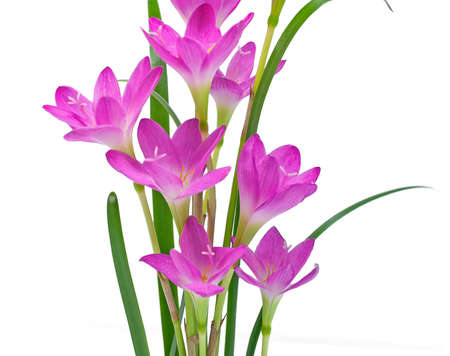 Rain Lilies flower isolated on white background