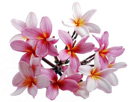 Frangipani, Plumeria flower isolated on white background