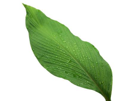 Turmeric leaf isolated on white background