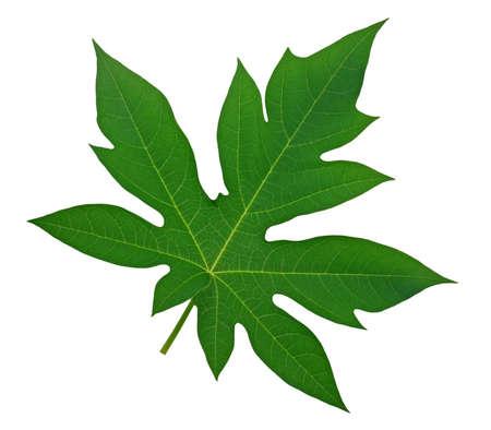 Papaya leaf isolated on white background 免版税图像