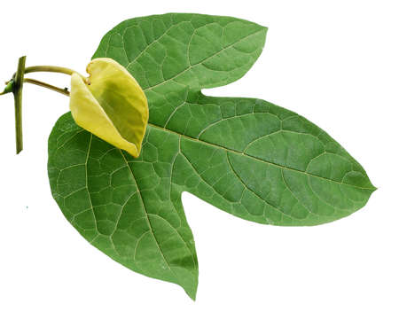 Gac leaf and flower isolated on white background
