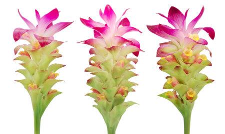 Turmeric flower isolated on white background 免版税图像