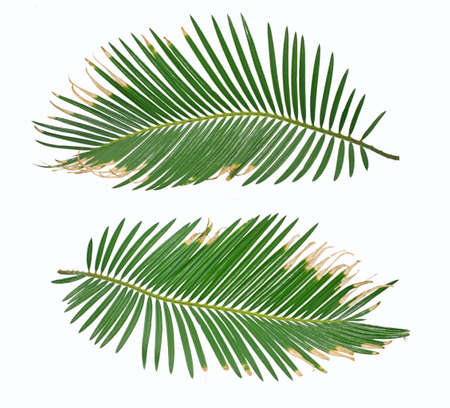Tropical palm leaf isolated on white background 免版税图像
