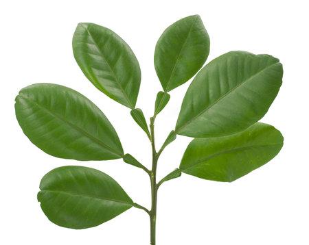 Pomelo leaf isolated on white backgroun 免版税图像