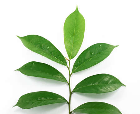Soursop leaf isolated on white background 免版税图像