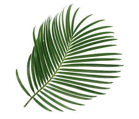 green palm leaf isolated on white background 免版税图像