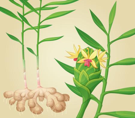ginger flower plant: Ginger plant. Vector illustration