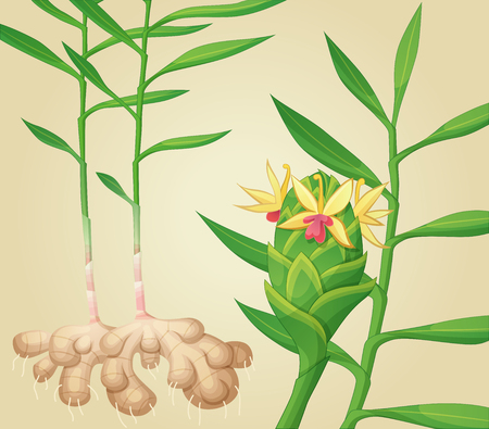 Ginger plant illustration. Standard-Bild - 94012978