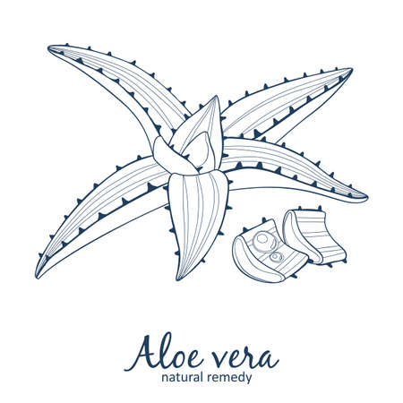 Aloe vera plant illustration. Vector icon. Black line art isolated on white background