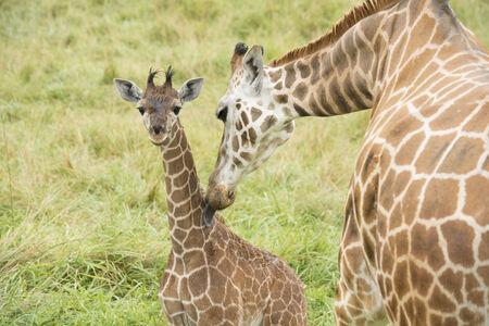 A mother giraffe bathes her baby