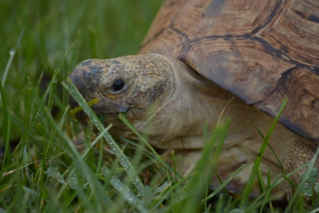 Tortoise eating grass sprinkled with early morning dew