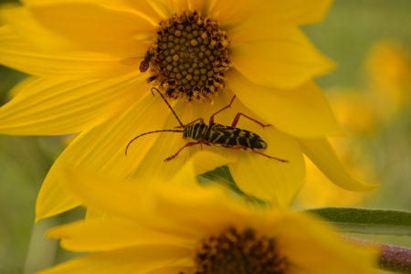 two bugs on yellow flowers