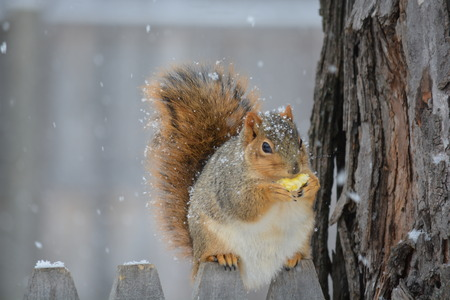 Squirrel eating in the snow