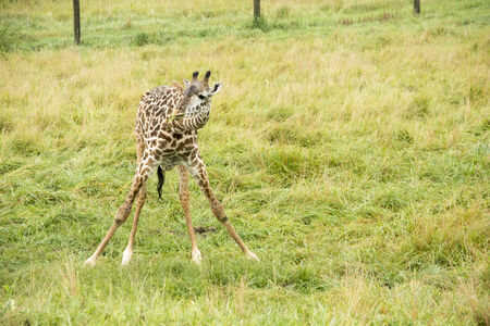baby giraffe eating