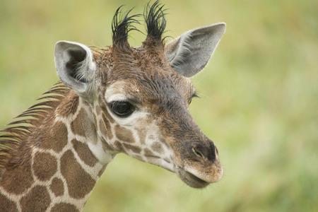 cabeza de jirafa bebé