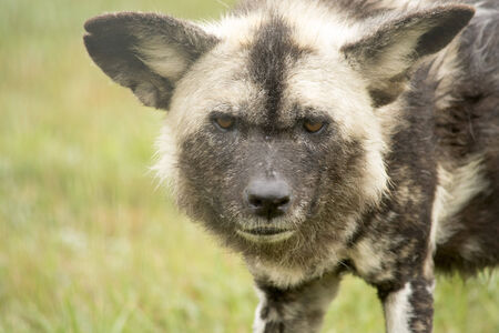 African wild dog staring
