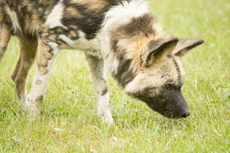 African wild dog sniffing