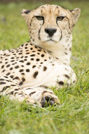 Cheetah annoyed Stock Photo