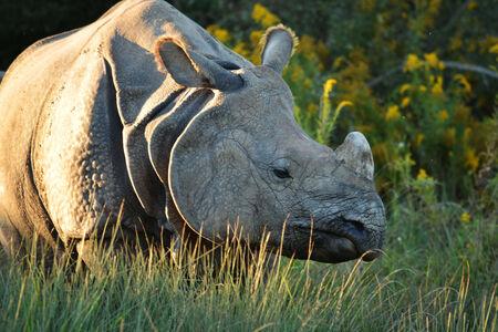 rhinocerous Stock Photo