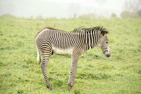 Zebra baby alone Stock Photo