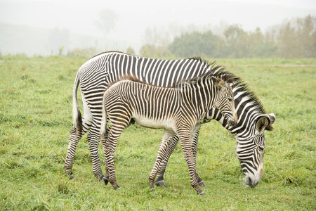 Zebras - baby and parent  side by side eating