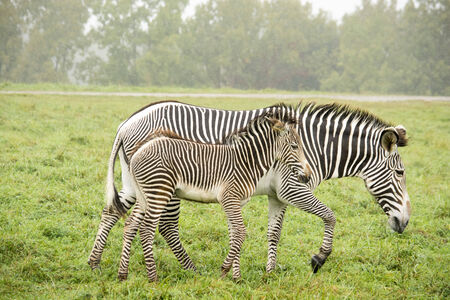 Zebras - baby and parent walking side by side