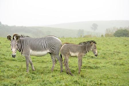 Zebras - baby and parent facing outward