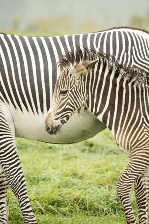 Zebras - baby and parent
