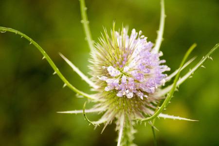 purple and white wildflower Stock Photo