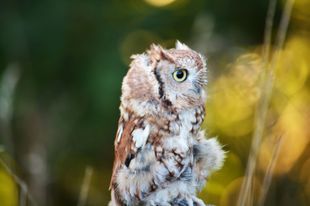keen: baby screech owl Stock Photo