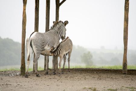 baby zebra nursing Stock Photo