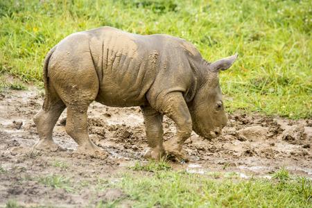 baby southern white rhino walking in mud Stock Photo
