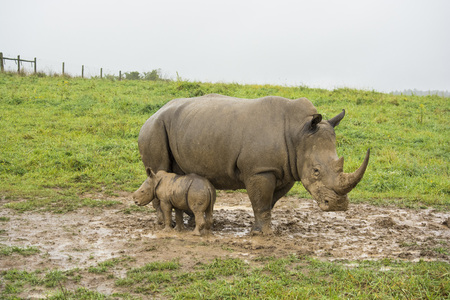 mom and baby southern white rhinos standing in mud Stock Photo