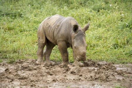 baby southern white rhino in mud