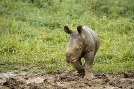 baby southern white rhino covered in mud