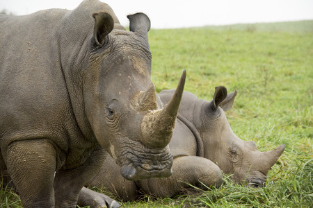 Two southern white rhinos resting and looking
