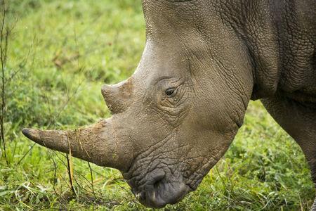 southern white rhino Stock Photo