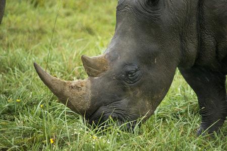 Southern white rhino eating