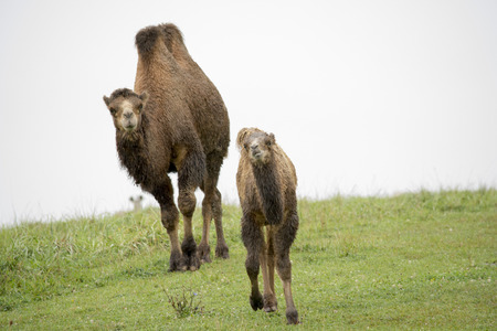 running camel: parent and baby bactrian camels