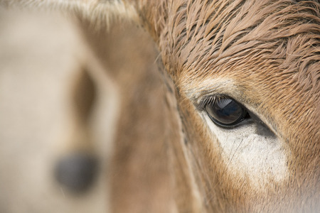 Persian onager close up photo