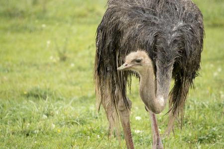 wet ostrich Stock Photo