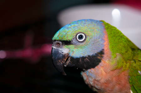 Parakeet, a small parrot with beautiful colored patterns And likes to make loud sounds Stok Fotoğraf