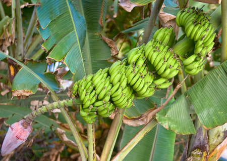 sustenance: Bunch of bananas on tree