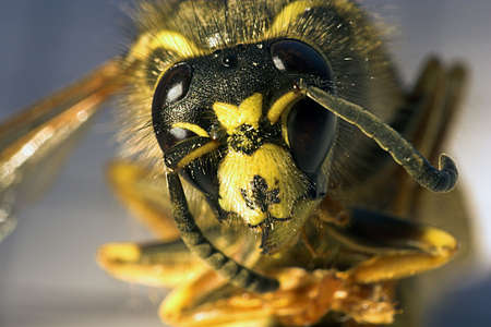 killer bee Banco de Imagens - 2767671
