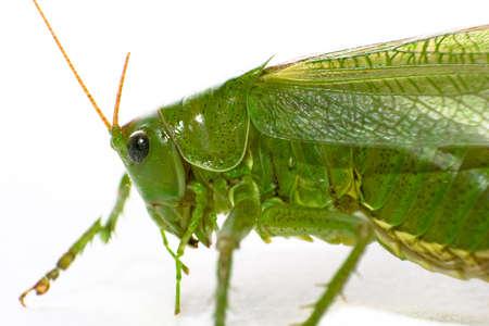 antrey: grashopper Stock Photo